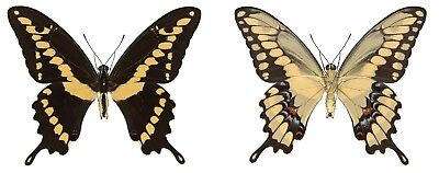 Taxidermy - real papered insects : Papilionidae : Pterourus rumiko PAIR