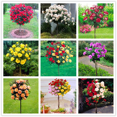 100 Pcs Rose Tree Seeds Potted Balcony Bonsai Flower Home Garden Mixed Color