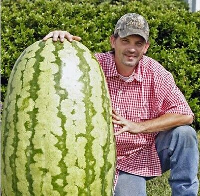 Pack of 10 Seeds Giant Watermelon Iwanaga Giant Rare Japan Cultivar Melon Seeds