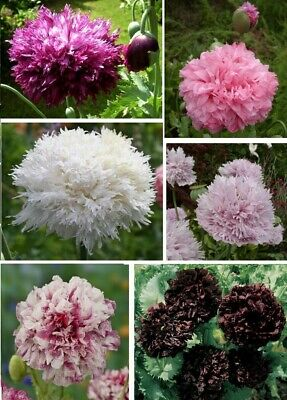 Paeony flowered Poppy seeds - Papaver - mixed colours 500+ seeds