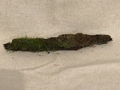 Moss, live mossy stick for Terraniums or Vivariums. Apprx. 12 x 1 inch