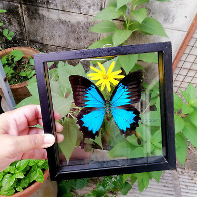 Real Blue Ulysses Butterfly Mounted Insect Taxidermy Double Glass Framed Display