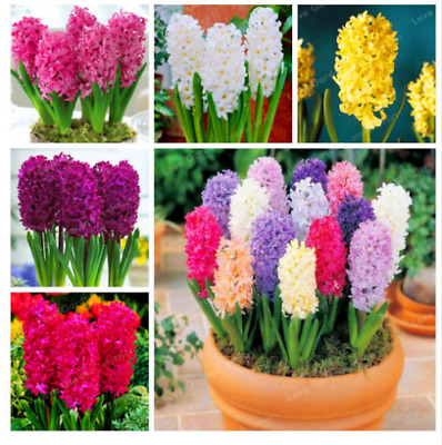Hyacinth Seeds Bonsai Flower Seeds Hydroponic Flower Seeds Mixed Colors 100Pcs