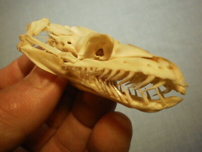 Python Taxidermy SKULL 3    inches clean,  perfect nice specimen