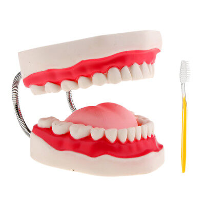 6x Enlarged Dental Teaching Typodont Demonstration Teeth Model +Toothbrush