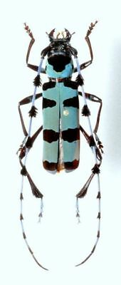 Taxidermy - real papered insects : Cerambycidae : Rosalia lameerei