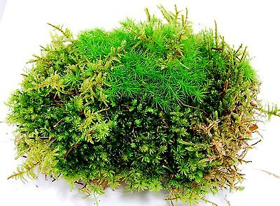 Live moss, sheet of mixed moss, for terrarium, vivarium. terrarium plant