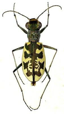 Taxidermy - real papered insects : Cicindelidae : Cephalota circumdata set 2