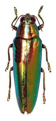 Taxidermy - real papered insects : Buprestidae : Chrysochroa fulminans praelonga