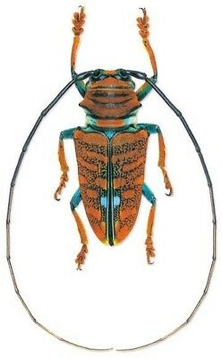Taxidermy - real papered insects : Cerambycidae : Sternotomis chrysopras reducta