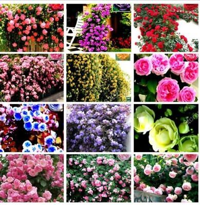 Climbing Rose Seeds Perennial Flower Garden Decor Plant Seed Mixed Color-100Pcs