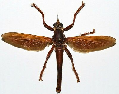 Taxidermy - real papered insects : Asilidae : Microstylum magnum HUGE robberfly