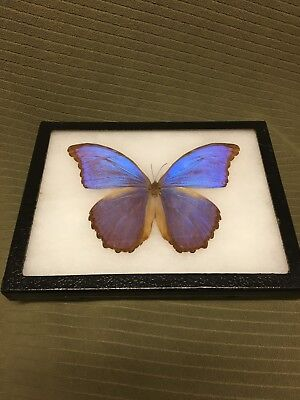 Real Framed Butterfly Blue Morpho Didius Brazil Collectible Great Deal!!!