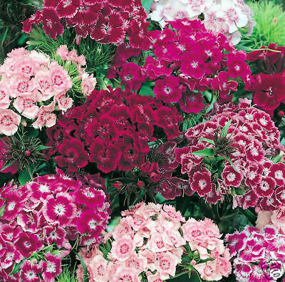 Mixed Sweet William Seeds, Bulk Sweet William Seeds, 1/ oz,  approx 13,000 seeds
