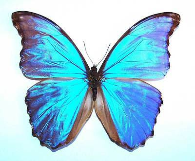 MORPHO GODARTII ASSARPAI - unmounted butterfly Good A-