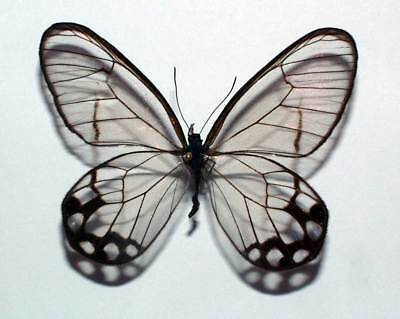 PSEUDOHAETERA HYPAESIA  - unmounted butterfly