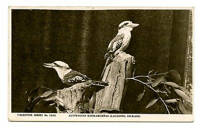 vintage photo postcard Australian Kookaburras laughing Jackass birds CAT CHARITY