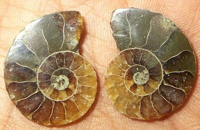 20Cts. Natural Fossil Ammonite Match Pair Cabochon Shape Loose Gemstone 1458