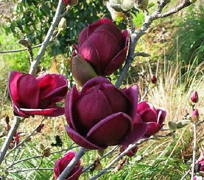10 fresh Seeds Rare Genie Dark Red Yulan Magnolia Tree Flower garden