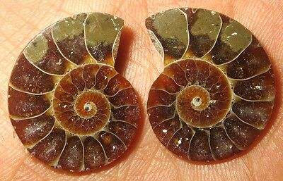 36Cts. Natural Ammonite Fossil Nice Matched Cabochon Pair Gemstone 1463