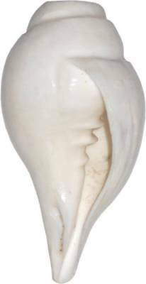 Exclusive Blowing Sound Making Sankh Shankha Shankh Conch Shell 10 Cm Long