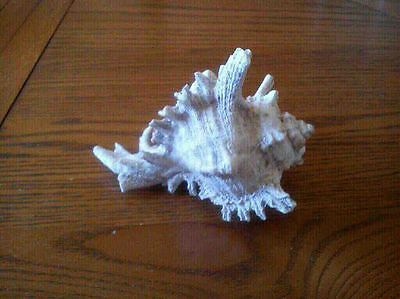 Spider Conch Sea Shell 15 cm long