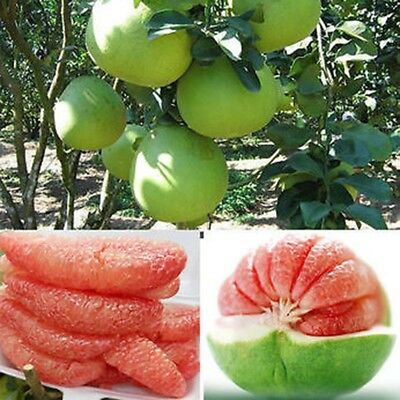 20 Pcs Fruit Red Pomelo Seeds Home Garden Yard Planted Fresh Tree Seeds Decor