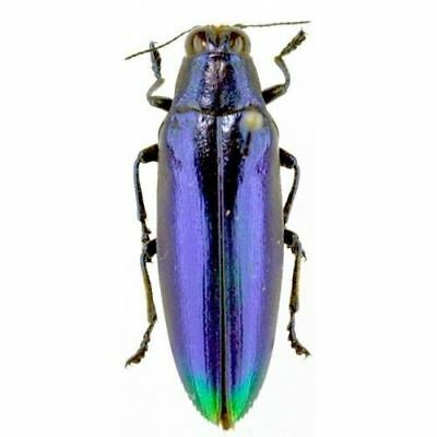 Taxidermy - real papered insects : Buprestidae : Chrysochroa fulminans BLUE