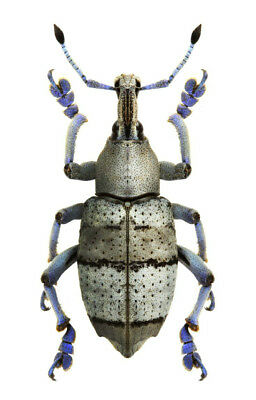 Taxidermy - real papered insects : Curculionidae : Eupholus amalulu semianthraci