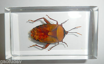 Brownish Bug Eurostus validus in 73x40x20 mm block Learning Insect Specimen
