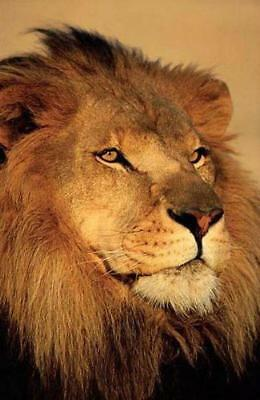 Lion : Close Up - Maxi Poster 61 cm x 91.5cm new and sealed