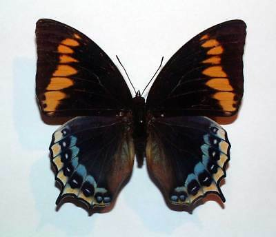 CHARAXES EURIALUS - unmounted FEMALE