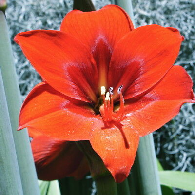 Healthy pot of Hippeastrum 'Floris Hekker' SEEDLINGS- Very Floriferous! ( no.4 )