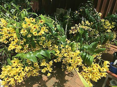Orchid - Dendrobium Gatton Sunray - Large Plant - FSD - Approx 1 Metre Tall