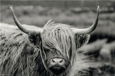 Hamish The Highland Cow POSTER 61x91cm NEW