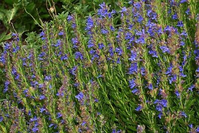 HYSSOP 100 % ESSENTIAL OIL. Undiluted up to 16oz.5-10% off.FREE SHIPP!