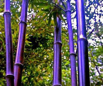 RARE Purple Bamboo,Timor Bambusa Lako - 50 Viable Seeds