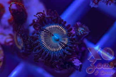 XO Vampire Killers Zoas Zoanthids Palythoa 4 Polyp Soft Coral Frag High End