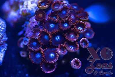Red Tuxedo Zoas Zoanthids 30 Polyp Marine Soft Coral Frag Mini Colony