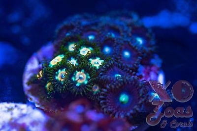 XO Nuclear Fallout + Pink Kisses Zoas Zoanthids 28+ Polyp Marine Soft Coral Frag