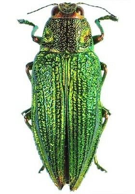 Taxidermy - real papered insects : Buprestidae : Chrysodema dalmanni