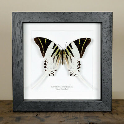 Giant Swordtail Butterfly in Box Frame (Graphium androcles) Entomology Frame