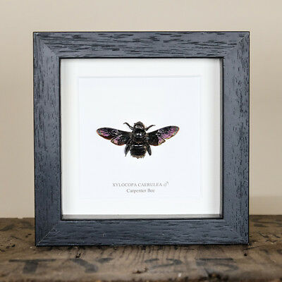 Carpenter Bee in Box Frame (Xylocopa caerulea) Entomology Frame