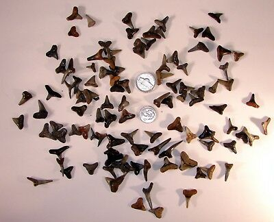 LOT OF 105 SHARKS TEETH TOOTH Craft Jewelry 1/2 inch or smaller COMPLETE TEETH