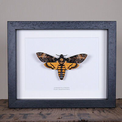 XL Deaths Head Hawk Moth in Box Frame (Acherontia Atropos) Entomology Frame