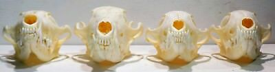lot of 4 Red Fox Skulls taxidermy real bone skeleton