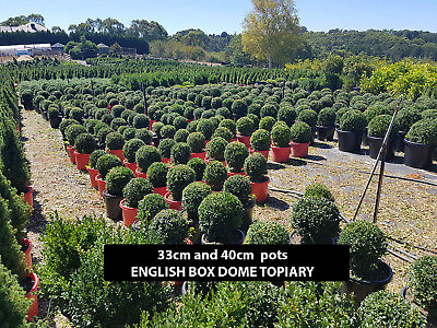 English Box Buxus Topiary Dome (Balls) Plants In Range Of Sizes