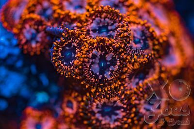 Utter Chaos Zoas Zoanthids CTO Frag Plug Soft Marine Coral Zoanthus
