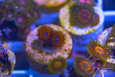 Keds Red Zoas Zoanthids 2 Polyp Frag Plug Soft Marine Coral Zoanthus