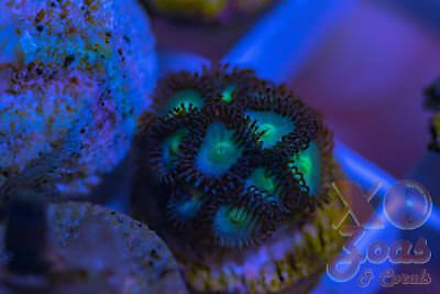 XO Blue Vice Smoothie 11 Polyp Soft Marine Coral Frag Ultra Zoanthid Zoanthus